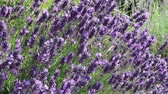 Close up of the purple flowering plant Lavender Dostupné videozáznamy
