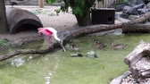 белый : Roseate Spoonbill standing on a branch watching ducks swimming by