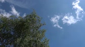 fújás : Leaves of the Silver Birch tree blowing on the breeze against a blue cloudy sky Stock mozgókép
