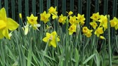 A group of yellow daffodils blowing about in the breeze
