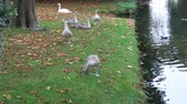 hattyú : A Bevy of young swans frolicking by the river