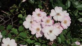 A small cluster of wild roses blowing gently in the breeze
