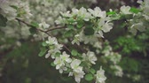 bloom : Apple twig with flowers and a bud. Stock Footage