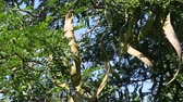 lusk : Honey Locust tree (Gleditsia triacanthos) with fruit.