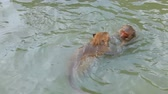 живая природа : wild monkey playing sea water pool at coastal in prachaupkhirikan southern of thailand Стоковые видеозаписи