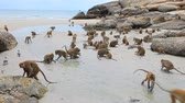flock of wilderness monkey on sea beach huahin thailand