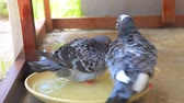 pigeon take a bath