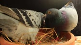 pigeon nest : couples of speed racing pigeon laying egg in home nest