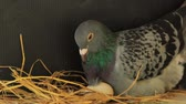 pigeon bird hatching in home loft