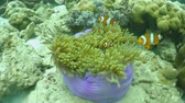 clownfish : nemo clawnfish in sea sponge flower