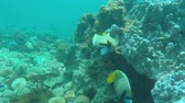 piscina : emperor angle fish in coral sea