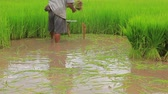 сельскохозяйственный : thai farmer preparing rice sprout in cultivated area