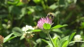 pairar : Red clover and honey bee