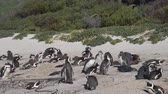 pinguine : Pinguine am Boulders Beach, Kapstadt