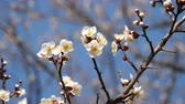 szilva : Tokyo, Japan-February 27, 2018: Ume blossom or Plum blossom, harbinger of the arrival of spring in Japan