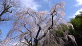 синий : Tokyo, Japan-March 24, 2018: Weeping cherry tree or Shidare-zakura