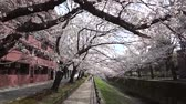 синий : Tokyo, Japan-March 26, 2018: (time-lapse) Walking along a river under cherry blossoms or Sakura in full bloom