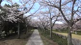 봄 : Tokyo, Japan-March 27, 2018: (time-lapse) Walking under cherry blossoms or Sakura in full bloom