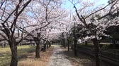 tunel : Tokyo, Japan-March 27, 2018: (time-lapse) Walking under cherry blossoms or Sakura in full bloom