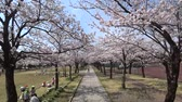 cherry blossom : Tokyo, Japan-March 27, 2018: (time-lapse) Walking under cherry blossoms or Sakura in full bloom