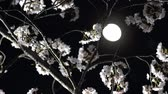 cherry blossom : Tokyo, Japan-March 28, 2018: Cherry blossoms or Sakura in full bloom under the moon Stock Footage
