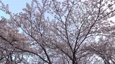 kiraz ağacı : Tokyo, Japan-March 29, 2018: Cherry blossoms or Sakura in full bloom toward evening Stok Video