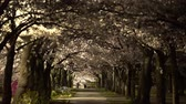 japonya : Tokyo, Japan-March 30, 2018: the Path in a park under full bloom Cherry blossoms or Sakura