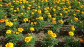 Клумба : Tokyo, Japan-June 29, 2018: Flowerbed of yellow flowers (Marigold) as a background.