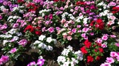 flowerbeds : Tokyo, Japan-June 29, 2018: Flowerbed of white flowers (Petunia) as a background. Stock Footage