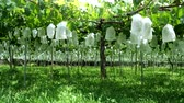 hrozný : Yamanashi, Japan-June 30, 2018: Grapes hanging from Grape Trellis early in the summer
