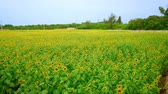 pole : Okinawa, Japan-July 7, 2018: Sunflower field in Miyako island, Okinawa