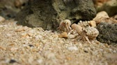 okinawa : Okinawa, Japan-July 6, 2018: Hermit crab on a seashore of Miyako island, Okinawa, Japan Stock Footage