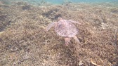 okyanus : Okinawa, Japan-July 5, 2018: Sea Turtle swimming near Miyako island, Okinawa, Japan