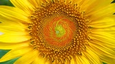 girassol : Tokyo, Japan-August 4, 2018: Example of Fibonacci number (34, 55) appearing on a sunflower face