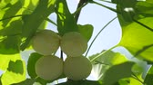 nut : Tokyo, Japan - August 15, 208: Ginkgo nuts have become light yellow. One month will be be to to fully fully ripened.