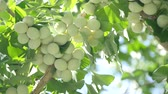 olgunlaşmamış : Tokyo, Japan - August 15, 208: Ginkgo nuts have become light yellow. One month will be be to to fully fully ripened.