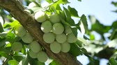underripe : Tokyo, Japan - August 15, 208: Ginkgo nuts have become light yellow. One month will be be to to fully fully ripened.