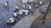 zóna : Paris, France-October 18, 2018: Pigeons are bathing at the corner of Clichy boulevard and Douai street in Paris