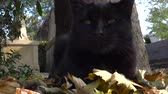 temető : Paris, France-October 19, 2018: A black cat resting at Montmartre cemetery in Paris, France