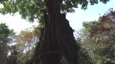 kök : Prasat Sambour, Cambodia-January 12, 2019: Prasat Chrey or N18 tree in Prasat Sambour in Cambodia Stok Video