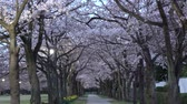 Tokyo, Japan-March 30, 2019: Morning scene of Cherry blossoms arcade with twittering of birds in a park in Tokyo Wideo