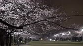 Tokyo, Japan-March 30, 2019: Morning scene of Cherry blossoms in a park in Tokyo
