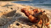 crustacean : Amami Oshima, Japan-A Hermit Crab at Tomori Beach at Amami Oshima, Kagoshima, Japan Stock Footage