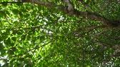 branches : Okinawa, Japan-June 2, 2019: Passing under Mangrove forests along Miyara River, Ishigaki, Okinawa, Japan
