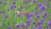 언어 : Gunma, Japan-July 24, 2019: A dragonfly on Lavender or lavandula in a garden in Gunma