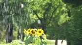 rostlina : Tokyo, Japan-July 26, 2019: Sunflowers beyond fountain in the park