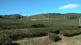 Kyoto,Japan-November 15, 2019: Beautiful Tea fields at Wazuka in Uji, Kyoto Стоковые видеозаписи