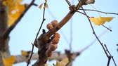 orzechy : Tokyo,Japan-November 29, 2019: Old Gingko Nuts Still Left on a Branch in the Winter Morning
