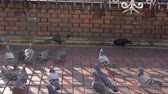ссора : Tokyo,Japan-January 10, 2020: Battle between crows and pigeons