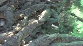 krokodyl : Siem Reap,Cambodia-January 26, 2020: Crocodiles at crocodile farm or crocodile garden in Siem Reap, Cambodia